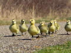 цыплята, ducklings, утенок