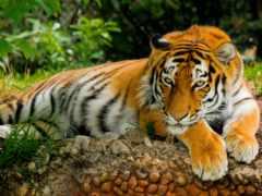 тигр, картинка, заставки