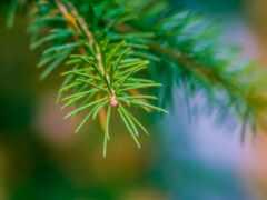 палуба, fir, branch