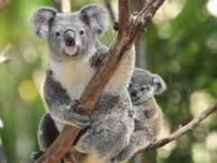 коала, animal, дерево