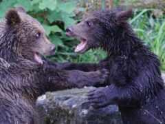 медведь, grizzly, splash