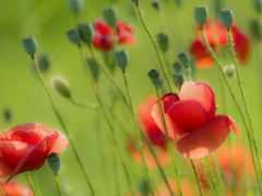 summer, поле, poppy