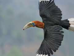 hornbill, rufous, fly
