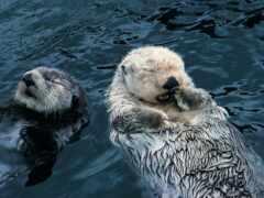 animal, бобр, otter