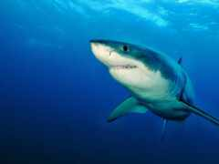 акула, white, wikipediamorda
