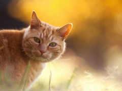 кот, red, котенок