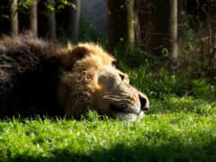 lion, отдыхающий, забавные