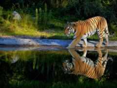 тигр, animal, water