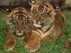 тигрица, тигрята, котята
