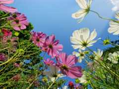 cvety, космея, лепестки