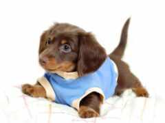 dachshund, щенок, oir