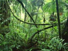 лісі, екваторіальні, indigenous