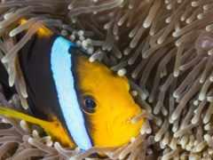 рыба клоун, anemone fish