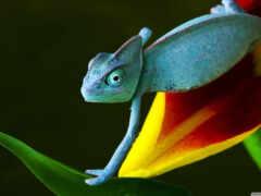 chameleon, reptile, ukraine
