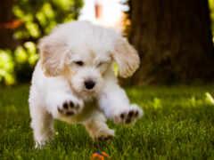 собака, щенок, playing