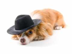 white, шляпа, собака