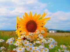 поле, подсолнух, summer