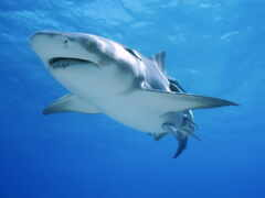 акула, красивый, living
