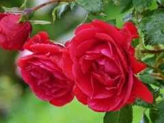 взлёт, роза, красивый
