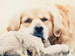собака, toy, pic