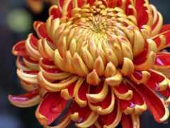cvety, хризантемы
