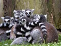 desktop, lemur, mac