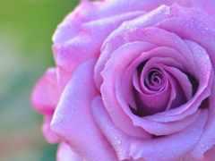 cvety, розы, роза
