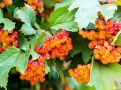 калина, плод, seedless