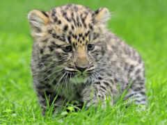 zhivotnye, леопарды, картинку