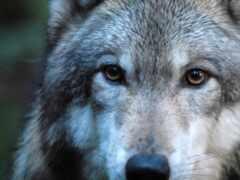волк, взгляд, волков