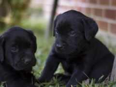 labrador, щенок, black