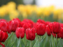 природа, cvety, тюльпанов