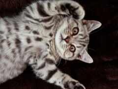 кот, striped, british