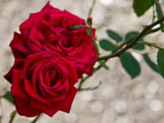роза, красное