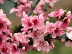 весна, cvety, яблоня