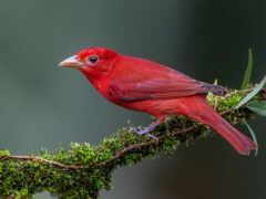 tanager, зелёный, птица