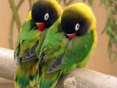 неразлучник, птица, попугай