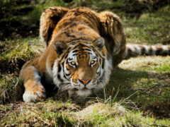 тигр, animal, леопард