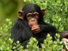 обезьяна, animal, шимпанзе