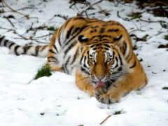 zhivotnye, тигры, самые