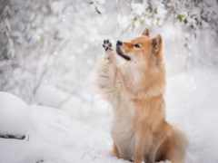 собака, картинка, eurasier
