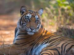 тигр, бенгальский, кот