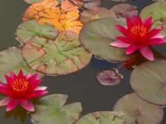 растение, lotus, семья