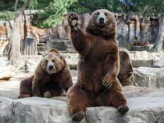 медведь, медведи, bears