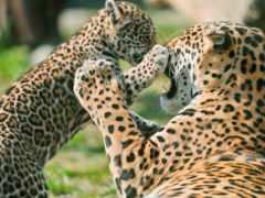 jaguar, матерью, детёныш