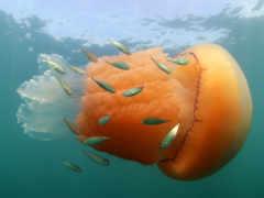 рыбки, Jellyfish