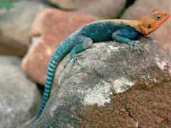ящер, синяя, камне