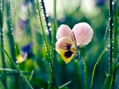 summer, цветы, глазки