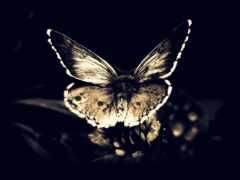 бабочка, black, движение