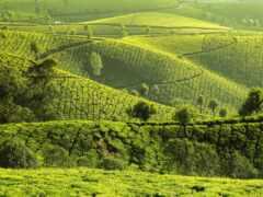 плантация, чая, jual